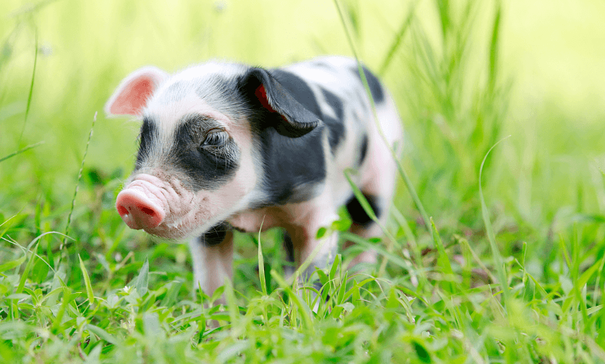 4月19日全国各省市10公斤仔猪价格报价表,集团扩张,仔猪价格继续上涨!