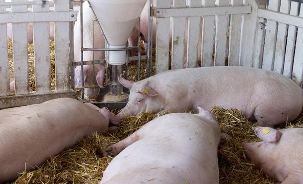 猪市走向:猪价月底能重回20元?注意两点