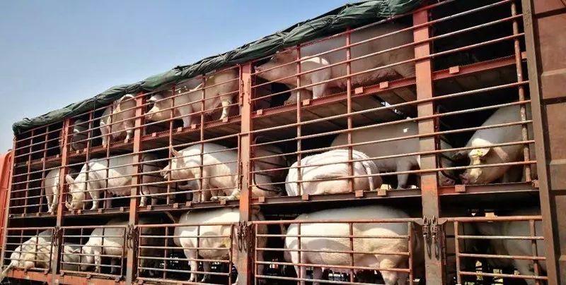 安徽:违法违规调运生猪专项整治行动启动