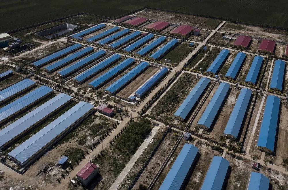 中国养猪业的凤凰涅磐——将以更现代、更高效的形式回归