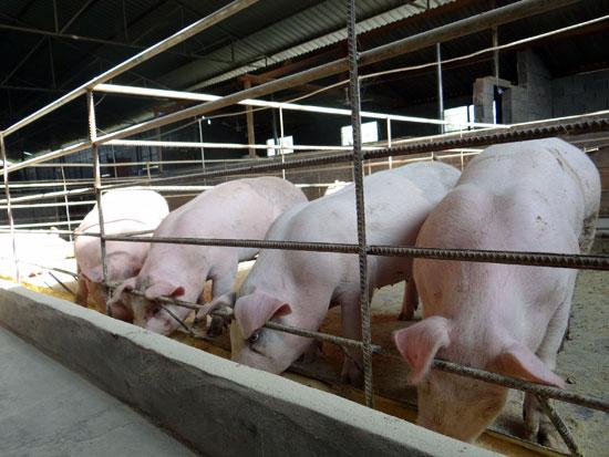 乐山今年拟建生猪标准化养殖场65个 预计新增产能100万头