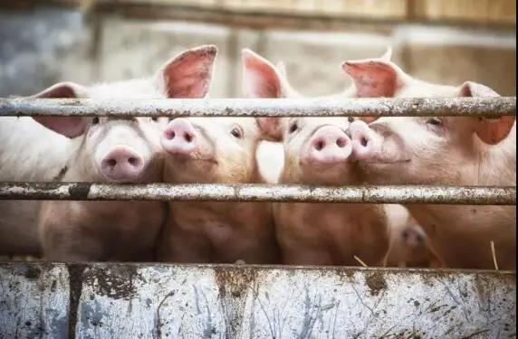 胡春华在广东、湖南实地督导生猪生产工作
