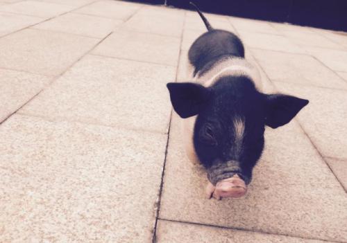 智能化养猪是一种怎样的体验?颠覆你对养猪业的认知