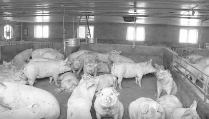 发展种养结合循环模式 四川梓潼县打好生猪保供战