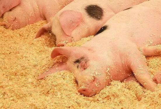 生猪收购价一个月来持续下跌,猪肉市场有望企稳