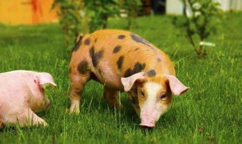 广西玉林市:一季度生猪出栏108.56万头
