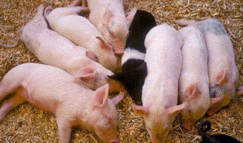 农业农村部专家周琳:预计2020年底生猪产能基本恢复到常年水平