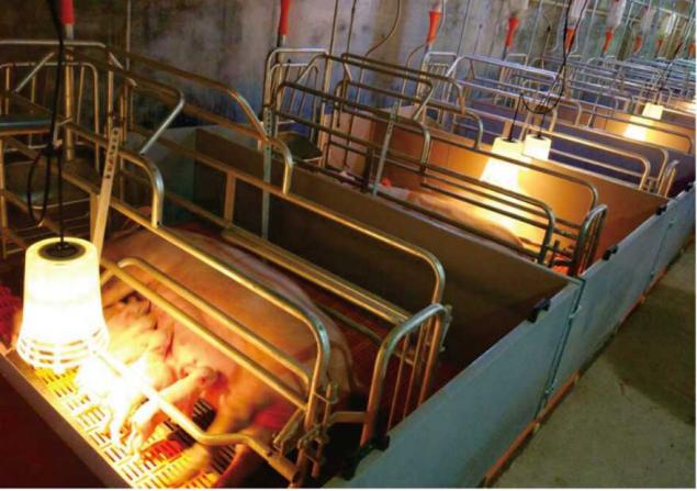 """猪场高效益:""""配种是龙头,分娩是关键"""",母猪围产期管理要点"""