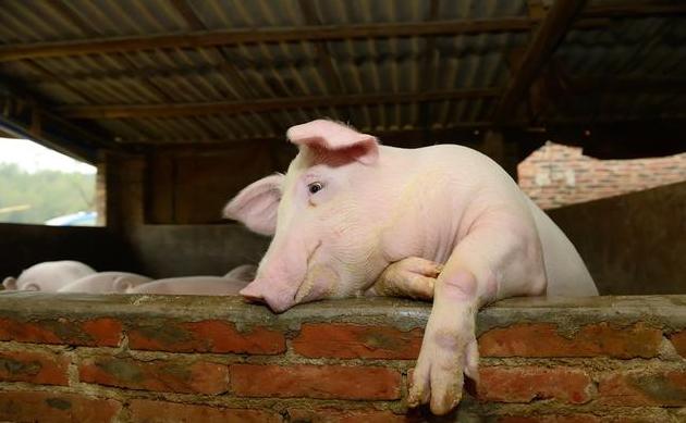4月21日全国生猪价格内三元报价表,华南、东北、西南三地全面下跌!