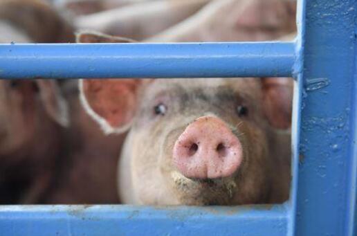 4月21日全国生猪价格外三元报价表,全面下跌,仅华北地区维持上涨态势!