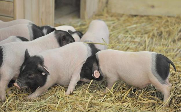 论养猪丨这家猪场保育猪98%成活率是如何达到的?
