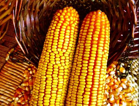 4月22日全国玉米价格行情表,粮企采购积极性提高,玉米价格持续上涨!