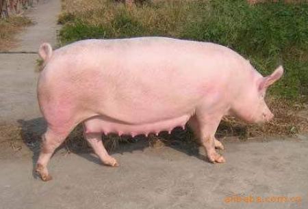 解读为什么说三元母猪掉膘问题是引发二胎综合征的元凶之一