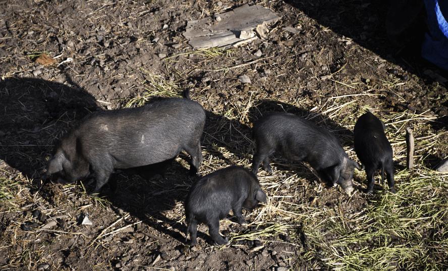 4月22日全国生猪价格土杂猪报价表,整体以下跌为主,但北方地区多有上涨!
