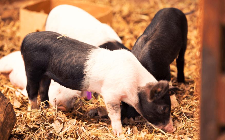 4月22日全国生猪价格内三元报价表,整体以下跌为主,但有8省市保持上涨!