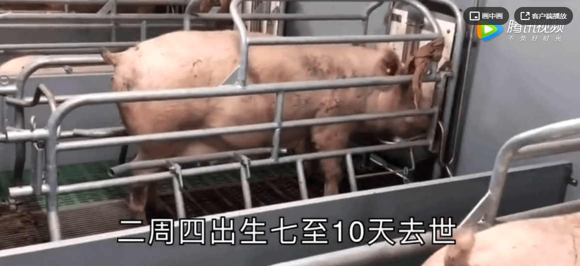 养猪技术系列专辑:仔猪出栏到疫苗的接种时间