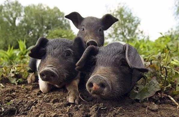 贵州派出九个督导组!督促指导生猪生产发展