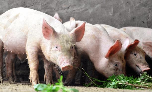 4月24日生猪价格走势,持续下跌,全国均价跌破33元/公斤,局地跌破15元/斤!