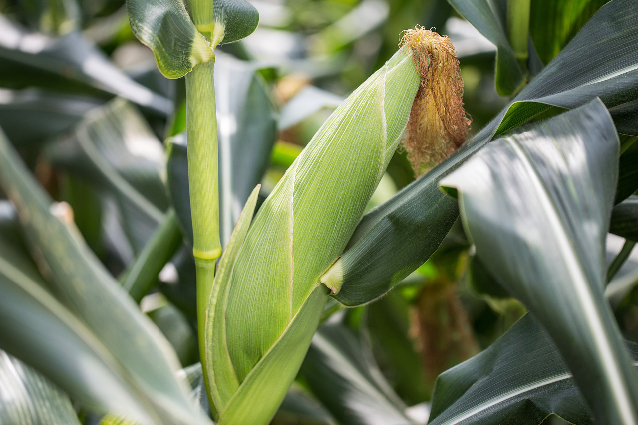 国内玉米市场传闻不断 特殊时期注意避险