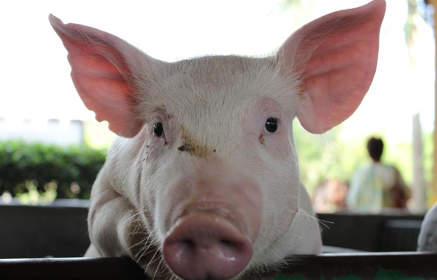 世界各国养猪生产成绩比较