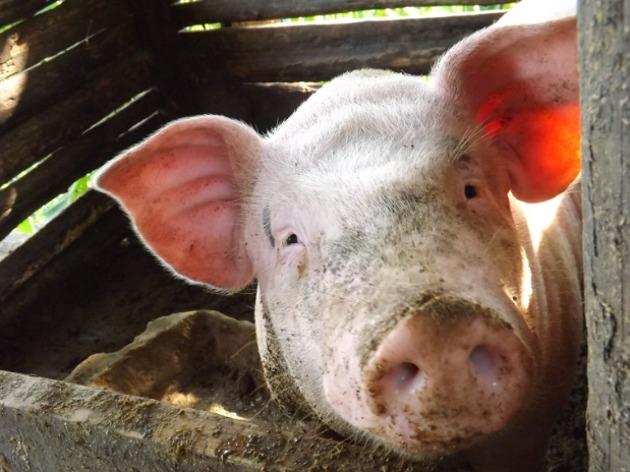 4月24日全国生猪价格内三元报价表,受天气影响,跌幅放缓!