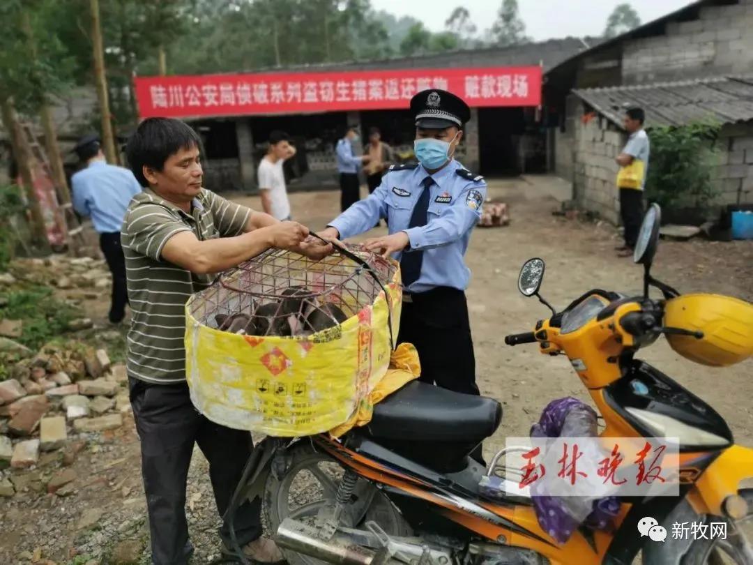 一觉醒来猪全没了!广西陆川8养户复养仔猪相继被盗,猪价高企盗猪团伙疯狂作案