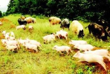 贺州生猪产业链项目顺利推进 计划11月投产运营