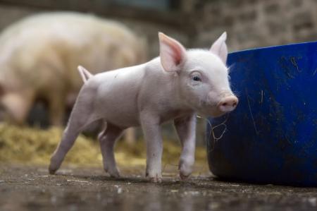 国家统计局:4月中旬生猪价格每千克34.1元,环比下降了0.9%