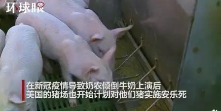 """屠宰场无限期关停、给猪""""安乐死""""···美国猪农正在经历什么绝望?"""