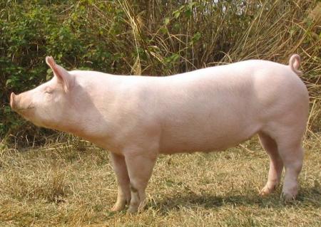 4月25日全国各地区种猪价格报价表,河南长葛市二元母猪价格全国最低