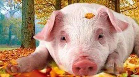 断奶仔猪饲养管理大方向四大要素,一个都不能少