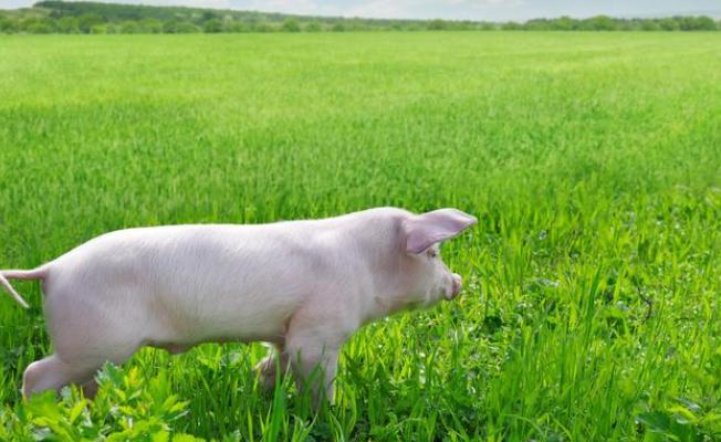 生猪期货获批,和约细则是什么?哪种养猪人不适合玩?