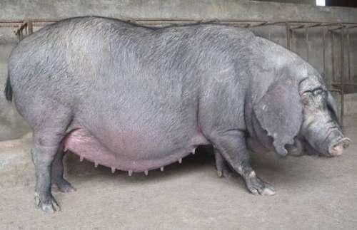 4月26日全国各地区种猪价格报价表,河北各地种猪价格维持在4500元/头!
