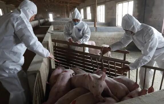 波兰、罗马尼亚家猪爆发非洲猪瘟