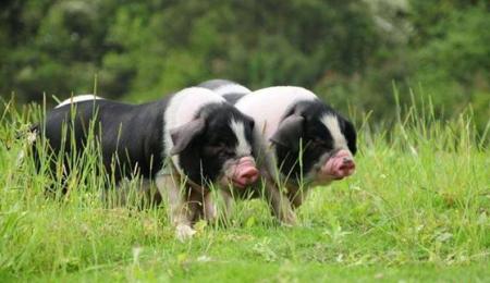 湖南流沙河牧业:2020年有望出栏宁乡花猪12万头以上