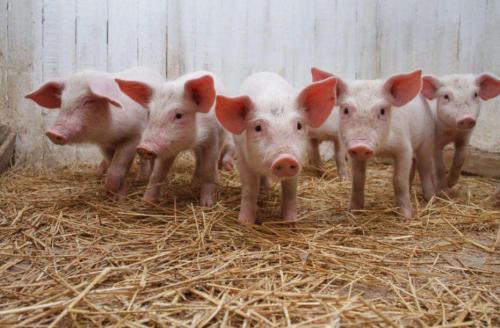 生猪期货上市养猪业变天否?获批只是开始,良性运行是目标