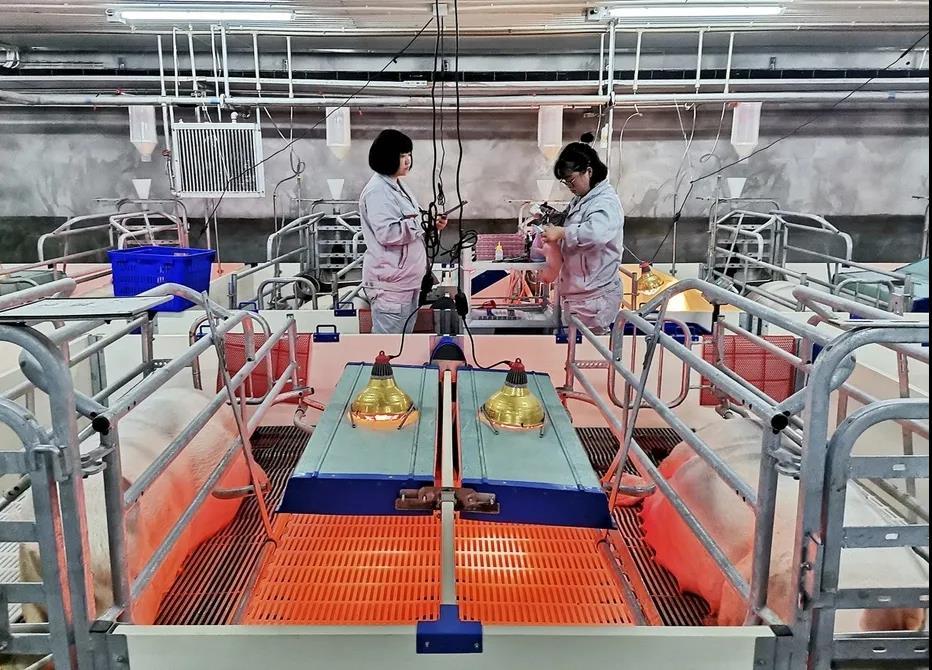 全国首个智慧化数字化种猪场实现首胎产仔