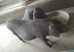 4月28日全国各省市10公斤仔猪价格报价表,湖北地区土杂猪价格较其他省市偏高!