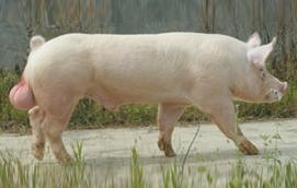 4月28日全国各地区种猪价格报价表,山东地区维持高价,其他地区维持在4500元/头左右!