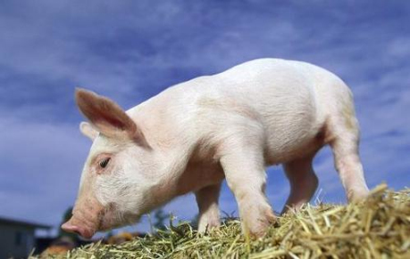 2020年猪价下行势不可挡,直面残酷的现实