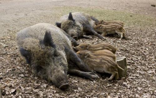 """为什么说非洲猪瘟一半是""""天灾"""",一半是""""人祸"""""""