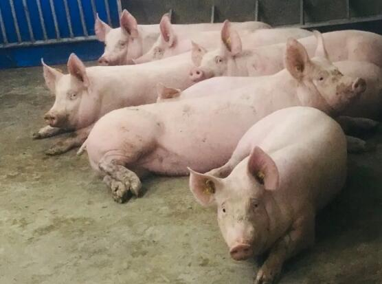 恢复生猪生产,种猪数量严重不足怎么办?