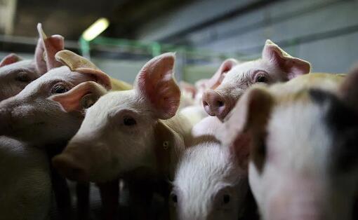 美国猪农新操作:母猪打流产针、仔猪免费送、肥猪安乐死