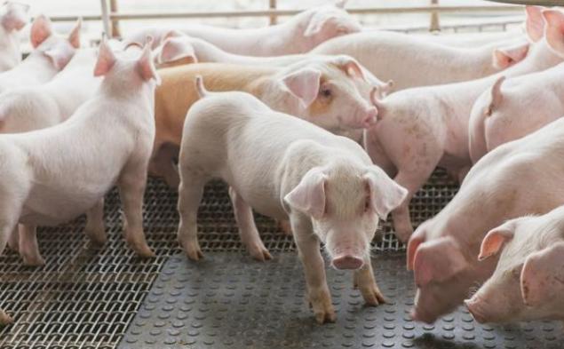 4月29日全国各省市20公斤仔猪价格报价表,山东省仔猪均价普遍在1600元/头!