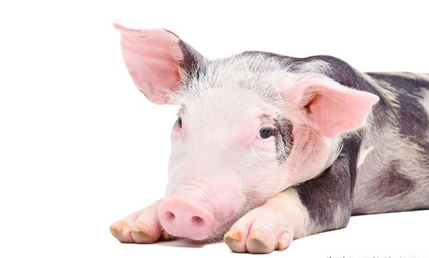 4月29日全国各省市10公斤仔猪价格报价表,国内大面积缺猪,仔猪价格连续上涨!
