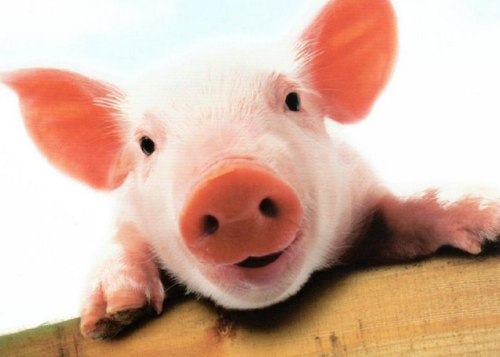 2020年第17周瘦肉型白条猪肉出厂价格:供需双利空,生猪和猪肉价格连续下跌