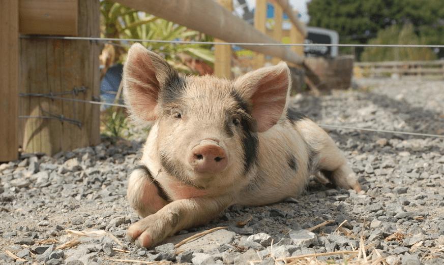 疫情影响持续扩大 美国150万头生猪待宰杀处理