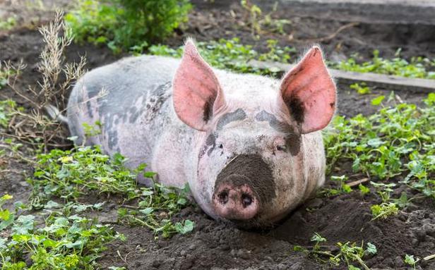 4月30日全国各地区种猪价格报价表,二元母猪价格普遍在4500元/头!