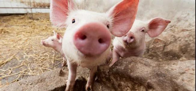 美国面临生猪销毁