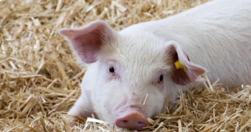 四川稳产保供观察:像抓粮食生产一样抓养猪